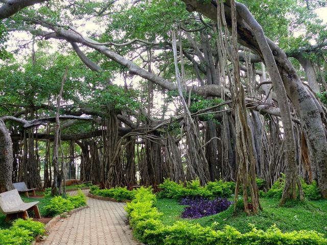 dodda alada mara, banyan tree, banglore, india
