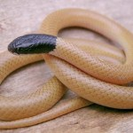 Snake George may have discovered rare species