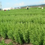 Plans to grow stevia in Cyprus
