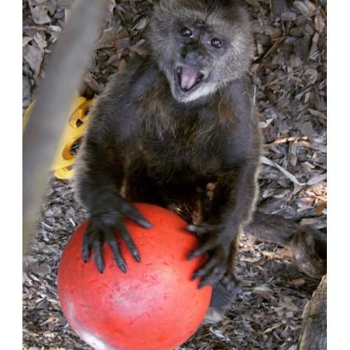 Medium Crop Of Jungle Friends Primate Sanctuary
