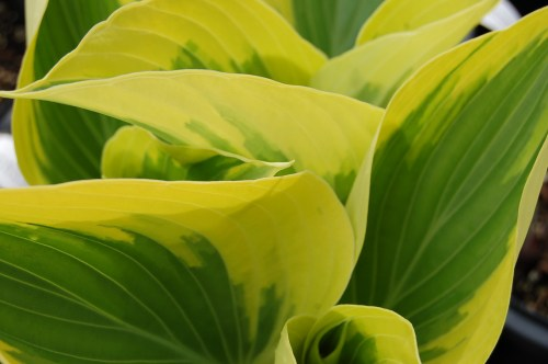 Medium Of When To Transplant Hostas
