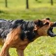 aggressive dog pic