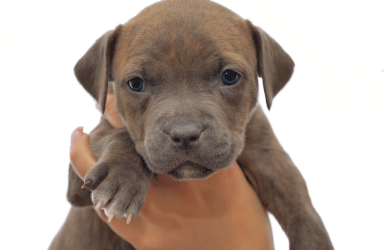 yong puppy. Pitbull