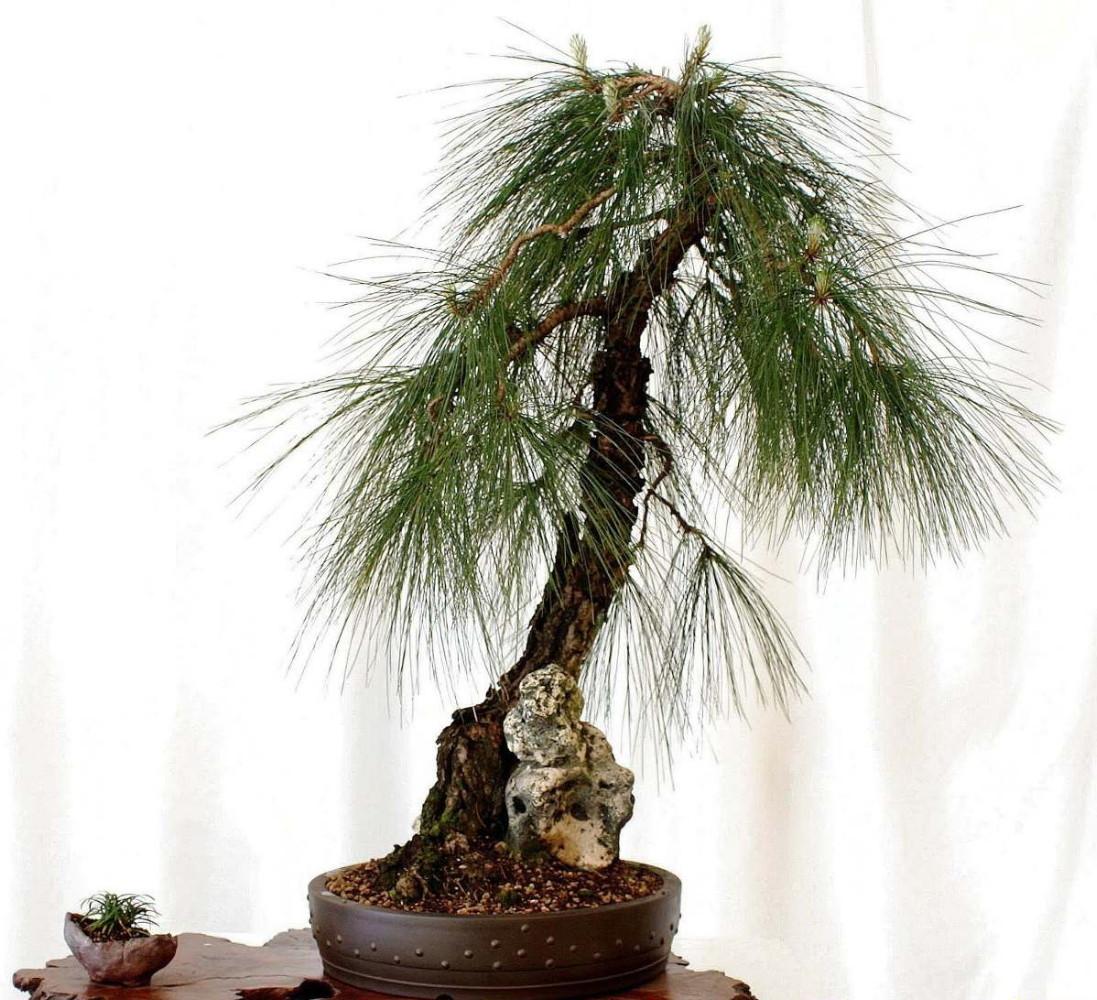 Sunshiny Semillas De Pino Lloron Pinus Patula Bonsai 18918 Mlv20163693337 092014 F Pine Tree Seeds To Eat Pine Tree Seeds Name houzz 01 Pine Tree Seeds