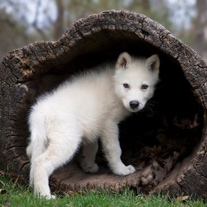 Interesting Baby Wolf Fact