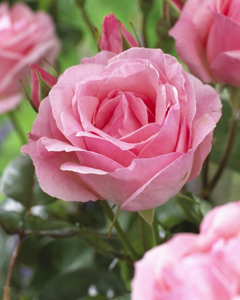 Lovable Rose Queen Elizabeth Floribunda Rose Queen Elizabeth Rose Plant Queen Elizabeth Rose Bush Sale houzz-02 Queen Elizabeth Rose