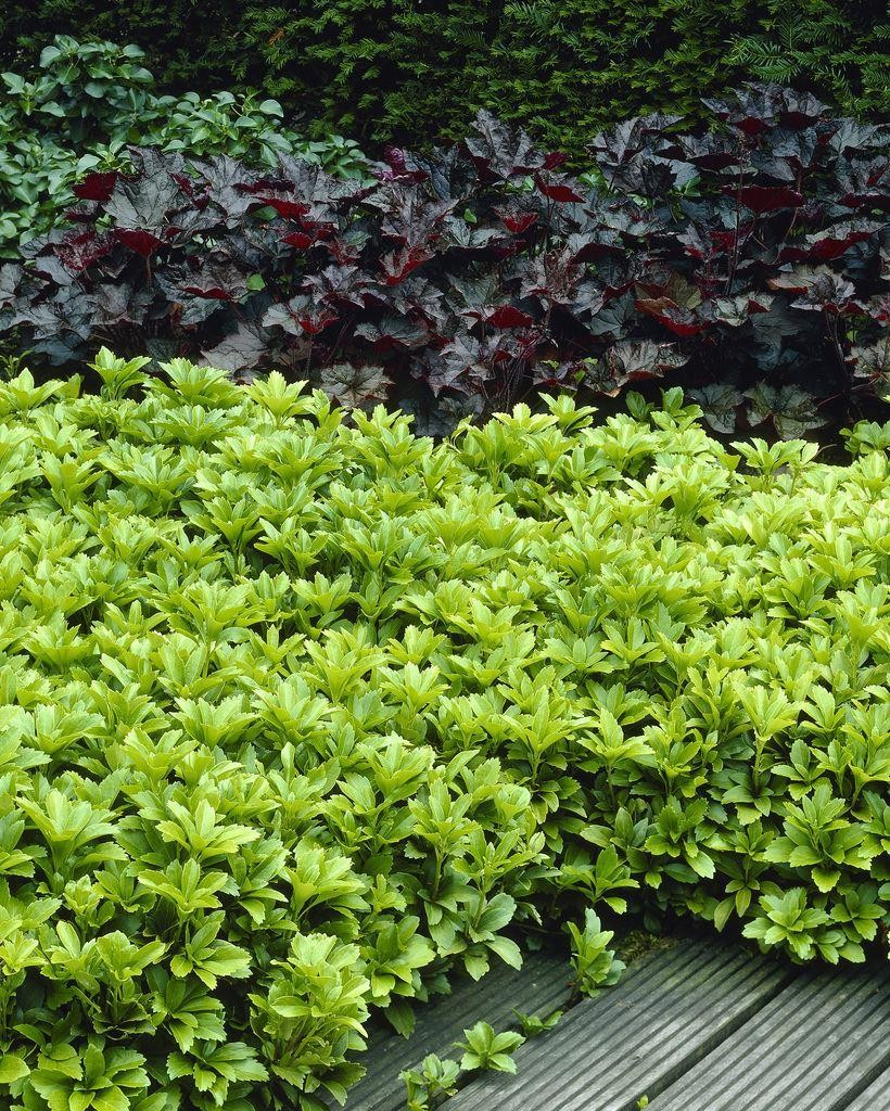 Interesting Ground Cover Packof Ten Plants Pachysandra Terminalis Japanese Spurge Pachysandra Terminalis Japanese Spurge Pachysandra Ground Cover Ground Cover Pachysandra Green Sheen Ground Cover houzz-03 Pachysandra Ground Cover
