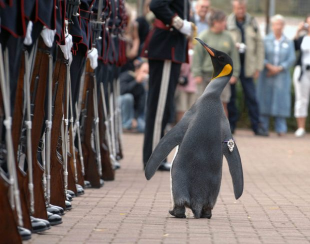 Nils Olav the Penguin inspects the Kings Guard of Norway after being bestowed with a knighthood at Edinburgh Zoo in Scotland. The King's Guard adopted the penguin as their mascot in 1972 during a visit to Edinburgh for the annual Military Tattoo.