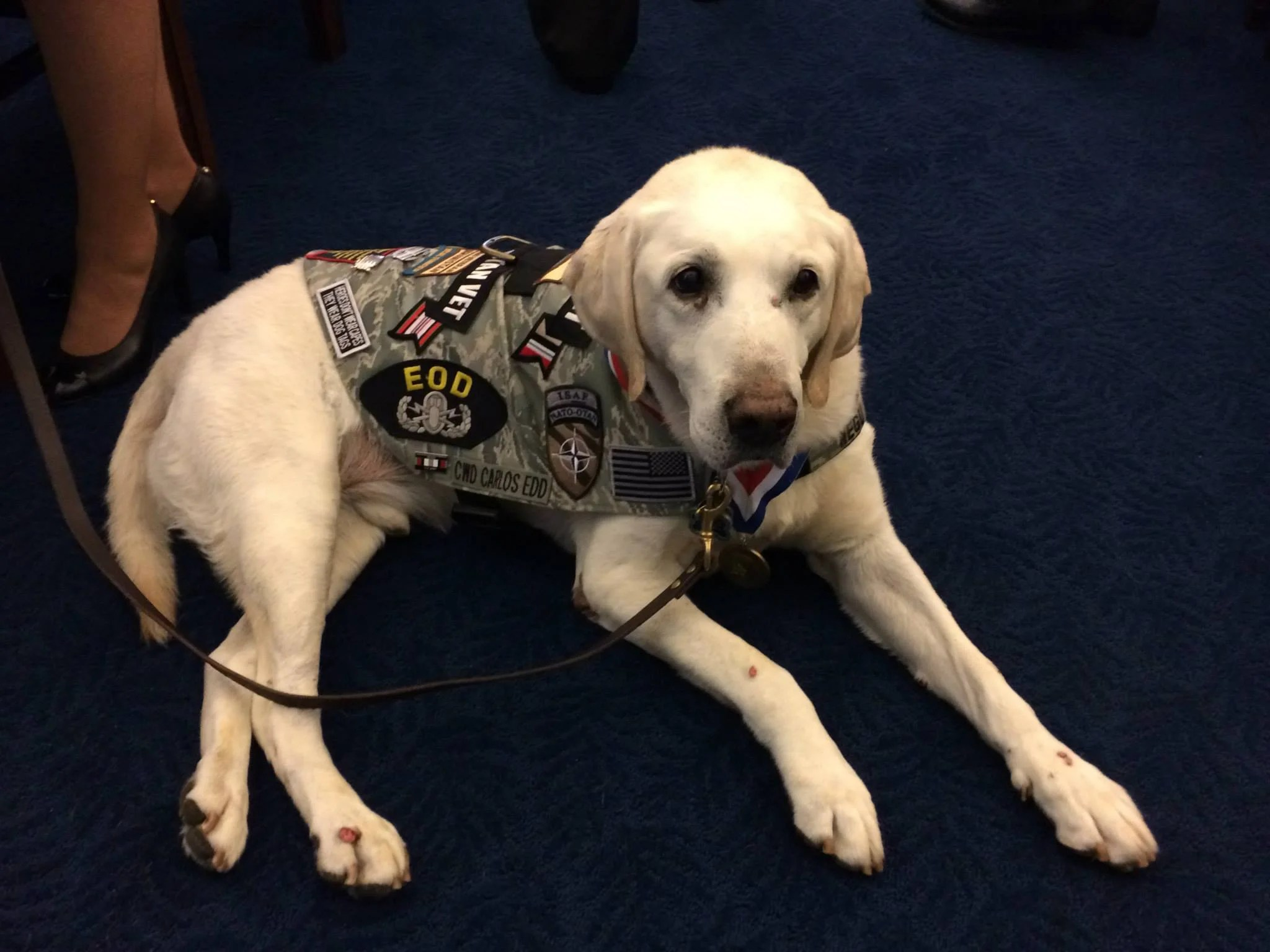 Pretty Contract Working Dog Carlos Sits At A Briefing From American Humanesociety On Capitol Hill Fight To Allow Military Working Dogs To On Soil Army Dog Movie Review Army Dog Movie Plot bark post Army Dog Movie