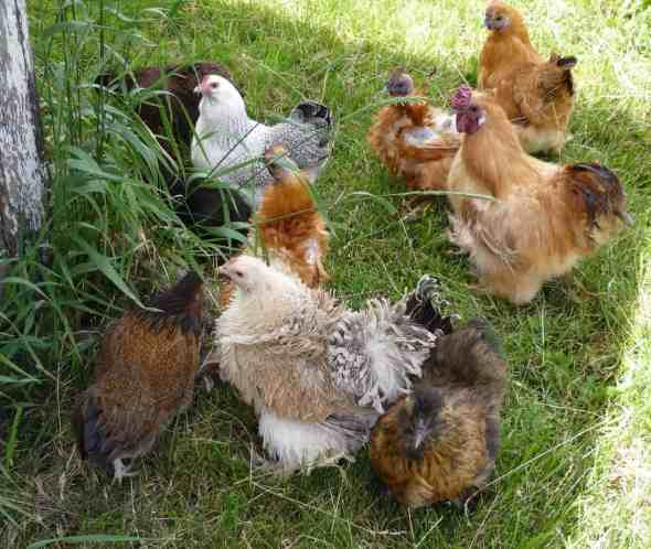 Because I can't just have regular boring chickens I have a mix of crazy looking bantam chickens and regular chickens. Because the bantam chicken group and the regular chicken group act like the bloods and the crips, they have to rotate who gets to go outside each day.
