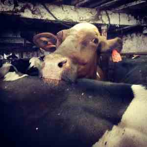 Wisconsin Dairy Farm Abuse Video from Mercy For Animals