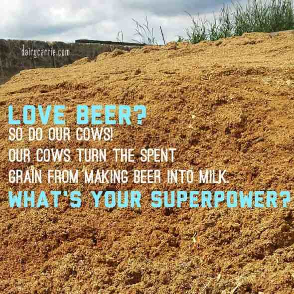 Feeding beer to cows.