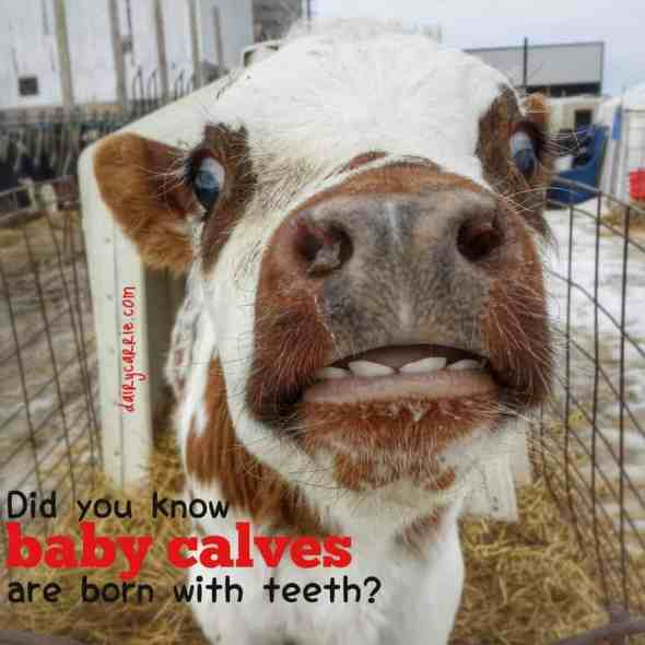 Calves are born with teeth