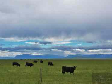 Cows grazing in Montana