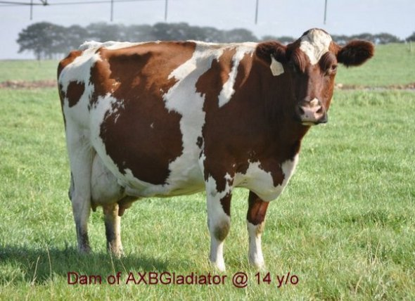 Dam of ARBBonjovi at 14 years old and going strong.-001