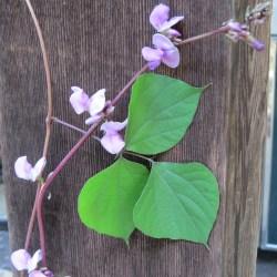 Small Crop Of Hyacinth Bean Vine