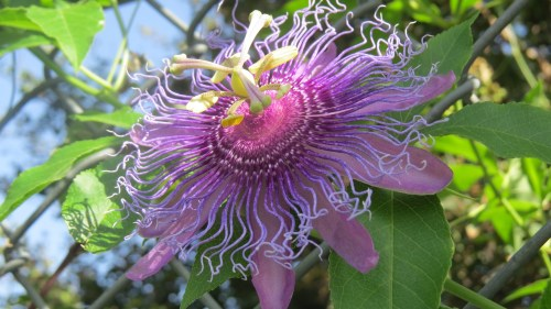 Medium Of Purple Passion Plant