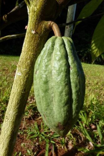 Cacao Pod in Arecibo