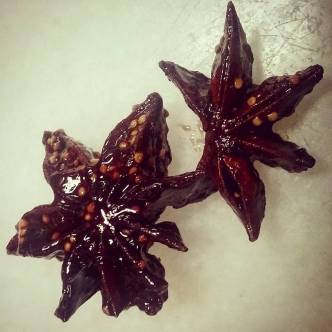 Star anise is all that remains from the figs I planted earlier