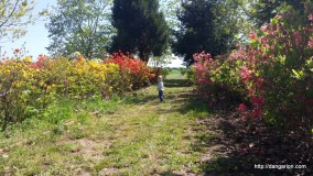 Abigail is looking for the perfect Azalea. At Gwynn Acres in Woodburn, OR.