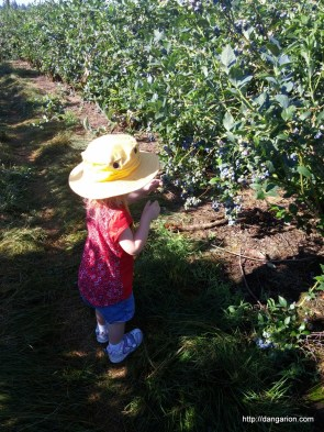 Blueberry picking, Abby couldn't wait, she was just picking them off the plant and eating them.