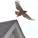 The Hawk: Urban pest control
