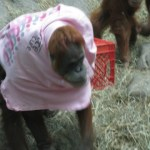 Orangutan trying on a t-shirt