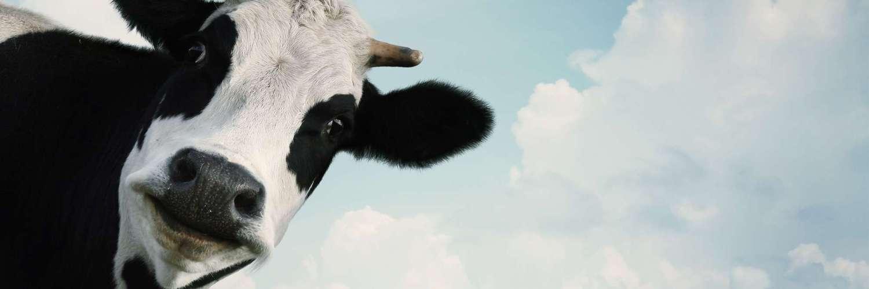 a-cow-header