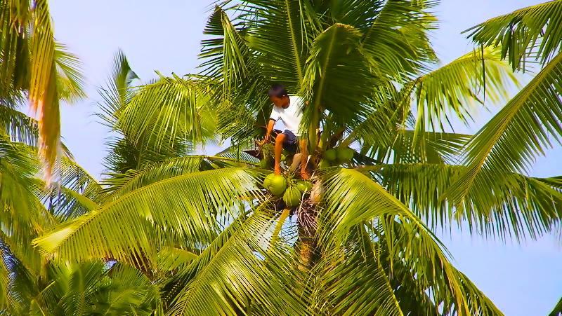 12. Coconuts to Copra