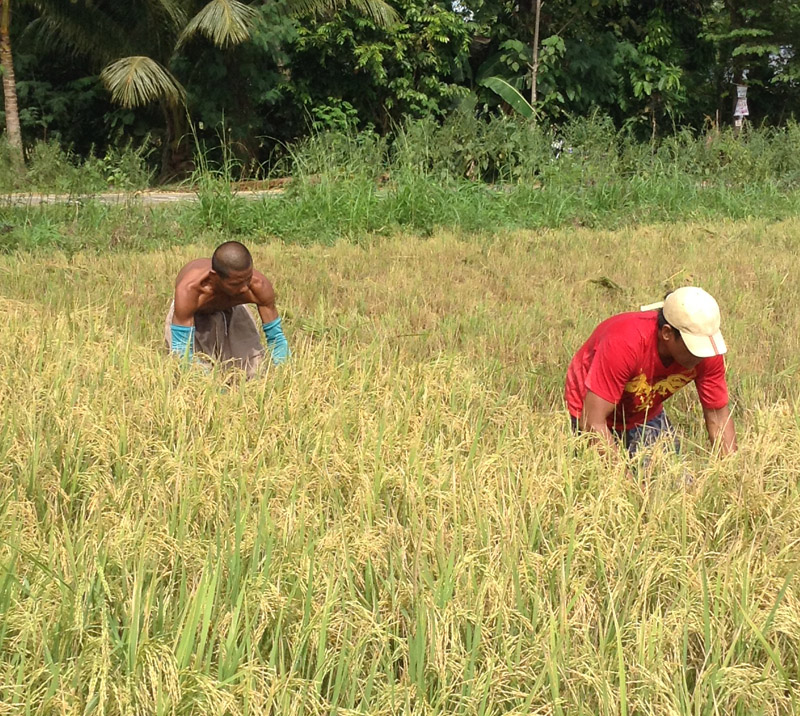 HARVEST OF GOLD. Farmers in Pigcawayan town in the province of North Cotabato enjoy their rice harvest after over three months of drought (davaotoday.com photo by Kenette Jean Millondaga)