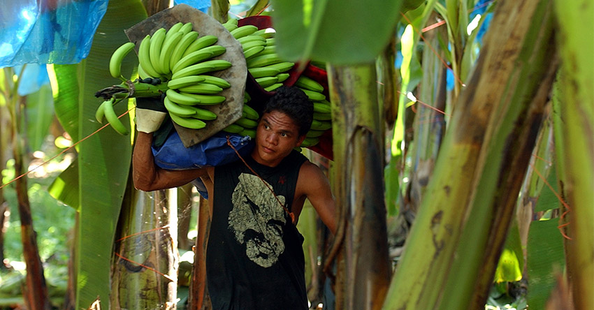 Farmers, exporters express alarm over decrease of banana production