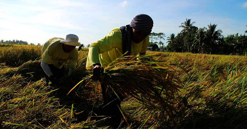 Dry spell to affect 11,000 Davao City farmers
