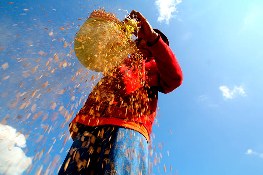 A farmer in Sitio Dao, Barangay White Culaman, Kitaotao town, Bukidnon is dusting off rice grain before delivering it to the rice mill. Ace R. Morandante/davaotoday.com