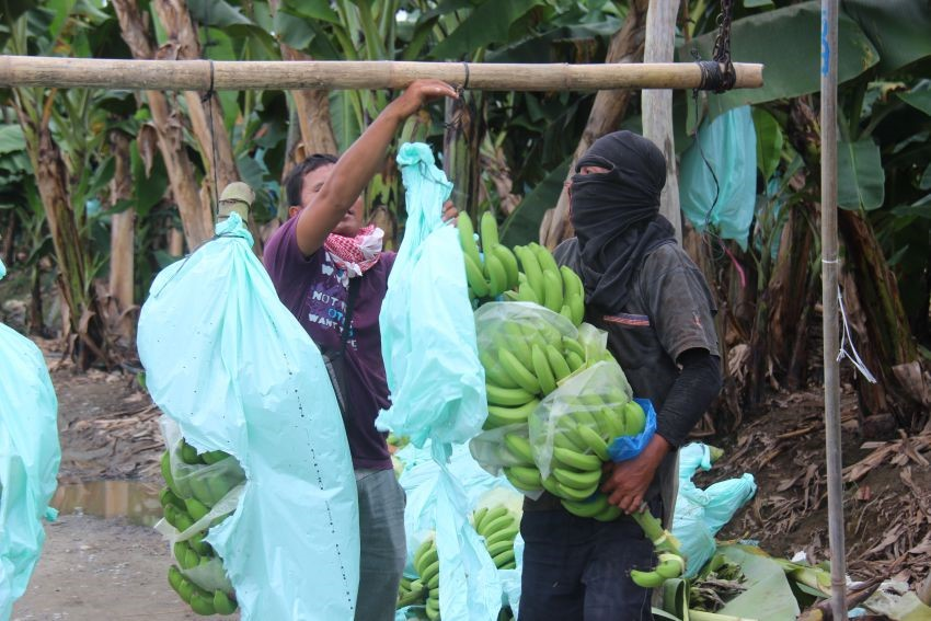 Tagum farmers want to break free from Lapanday, sell bananas to other buyers