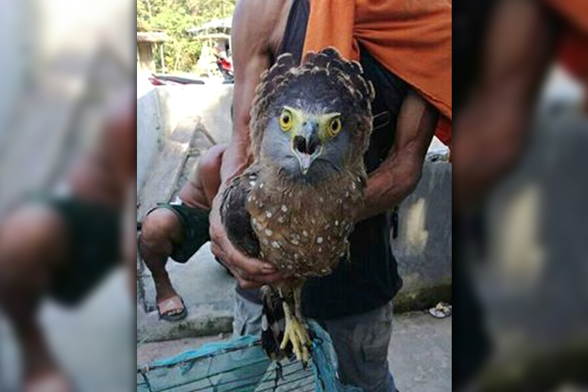 Philippine Serpent Eagle found on a roadside in Talaingod