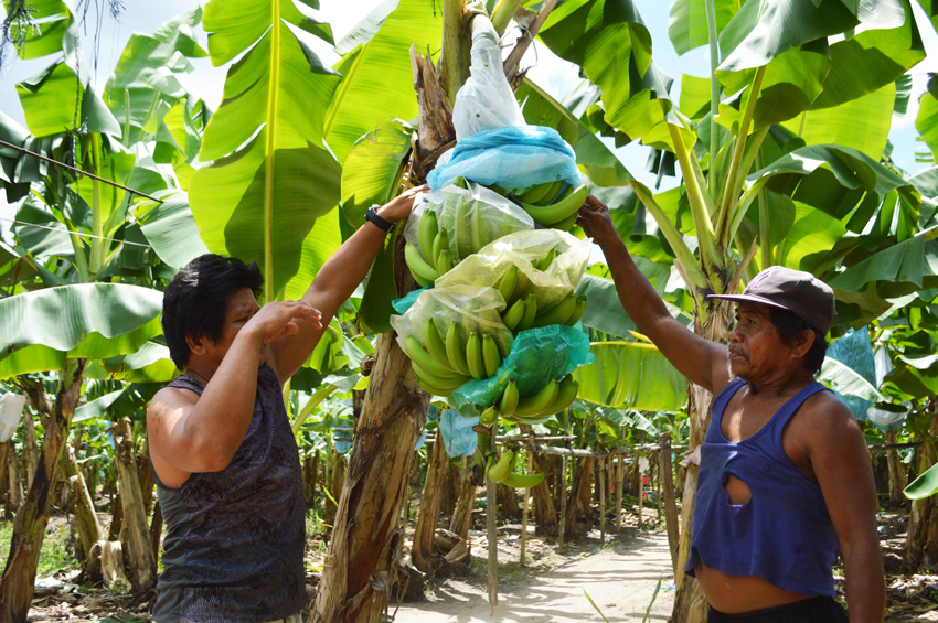 Davao Norte banana workers demand P100 wage hike