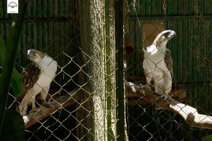 PH, Singapore agree to breed, conserve Philippine Eagles
