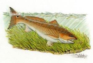 Tailing Redfish