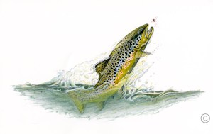 Brown Trout - Sportfish