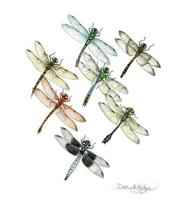 Dragonfly - Magnificent 7