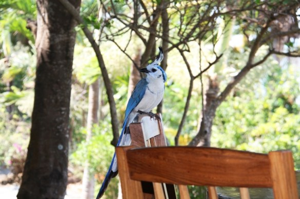 A beautiful White-throated Magpie-Jay joins us for lunch!