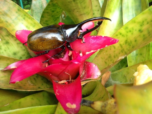 Huge rhinoceros beetle right outside of the hotel reception.