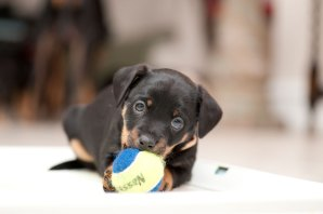 dwarf pinscher puppies playing with a ball © David Hamilton Melby