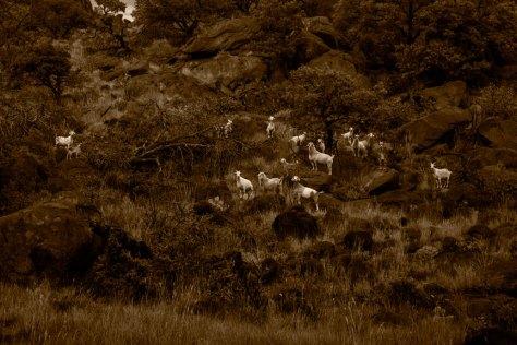 Goats on Lizard Mountain