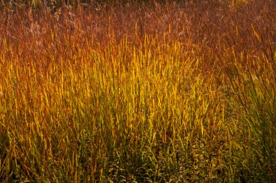 Sedge grasses glow in the late afternoon light