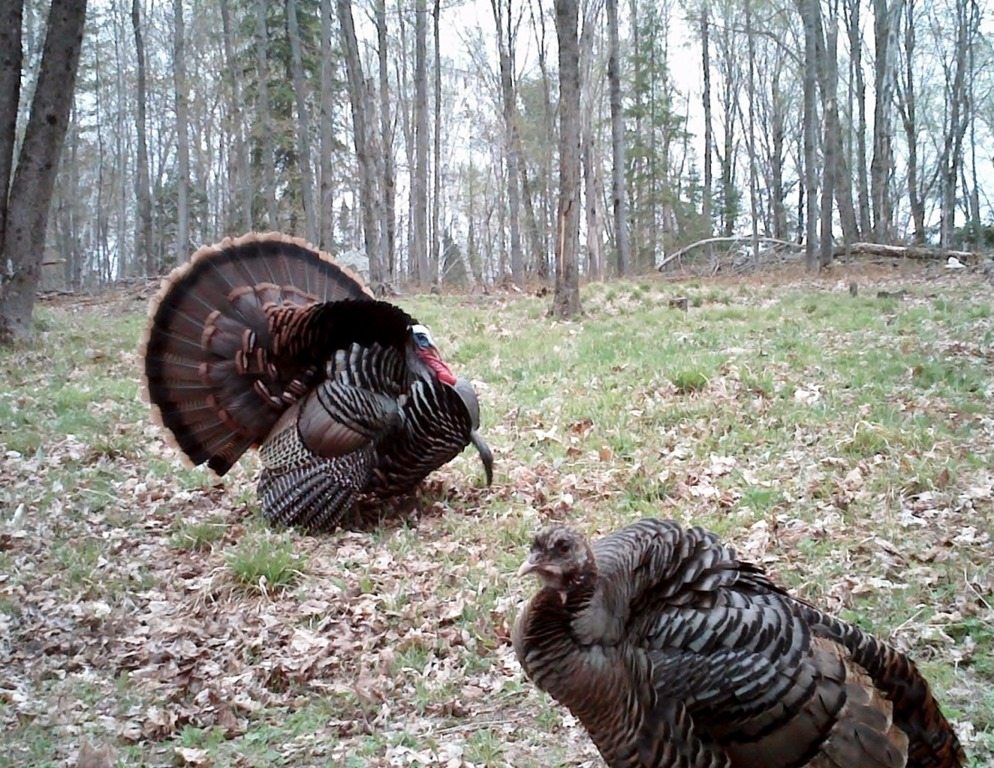 Dealing-with-Nasty-Hens.jpg