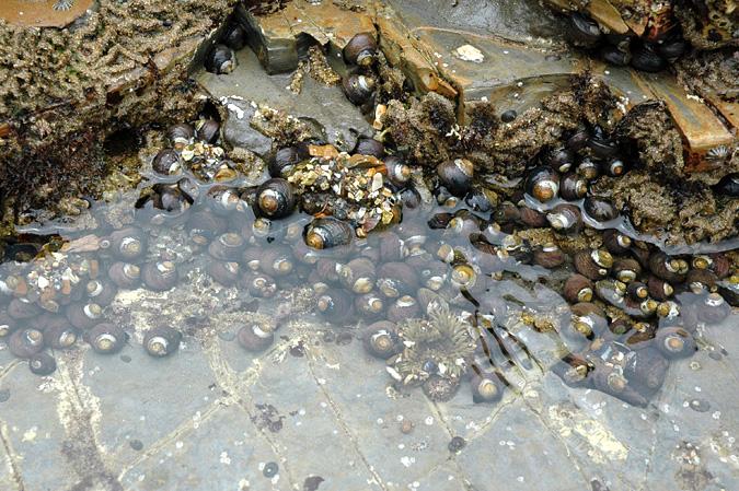 Abalone Cove tidepool snails