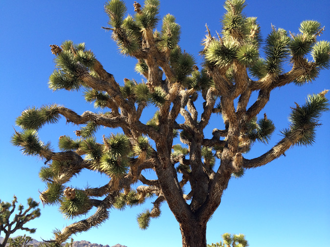This is a joshua tree.