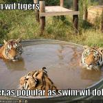 funny-pictures-nobody-wants-to-swim-with-tigers