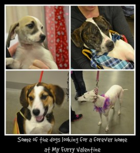 Some of the wonderful dogs looking for a forever home at My Furry Valentine DearKidLoveMom.com